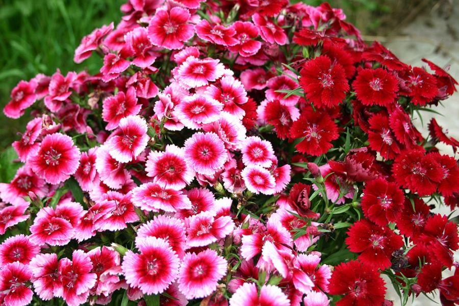 روش کاشت و پرورش گل میخک