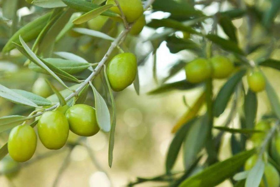 آموزش کامل کاشت و تکثیر درخت زیتون