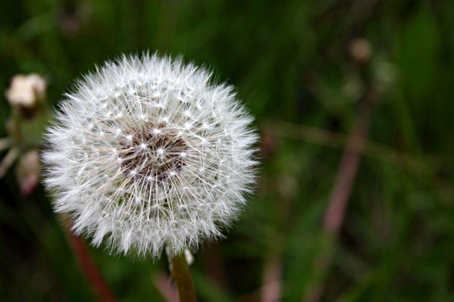 معرفی گل قاصدک و روش پرورش آن