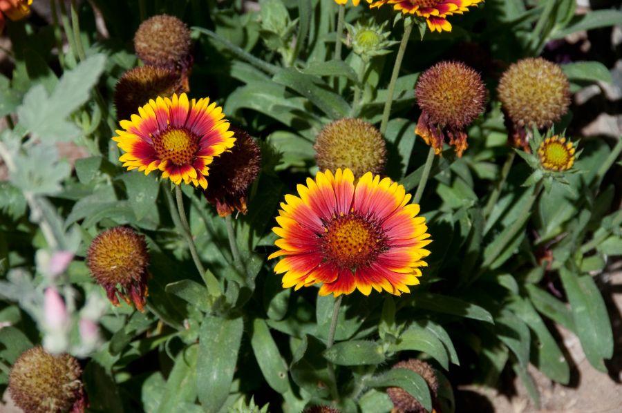 روش کاشت و پرورش گل رعنا