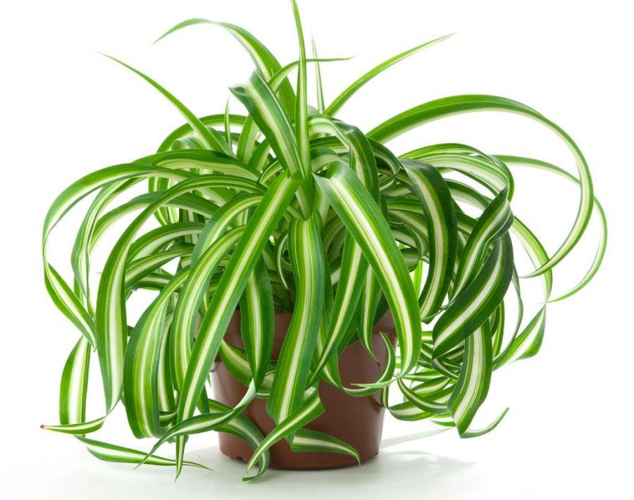 روش های نگهداری و تکثیر گیاه پاندانوس