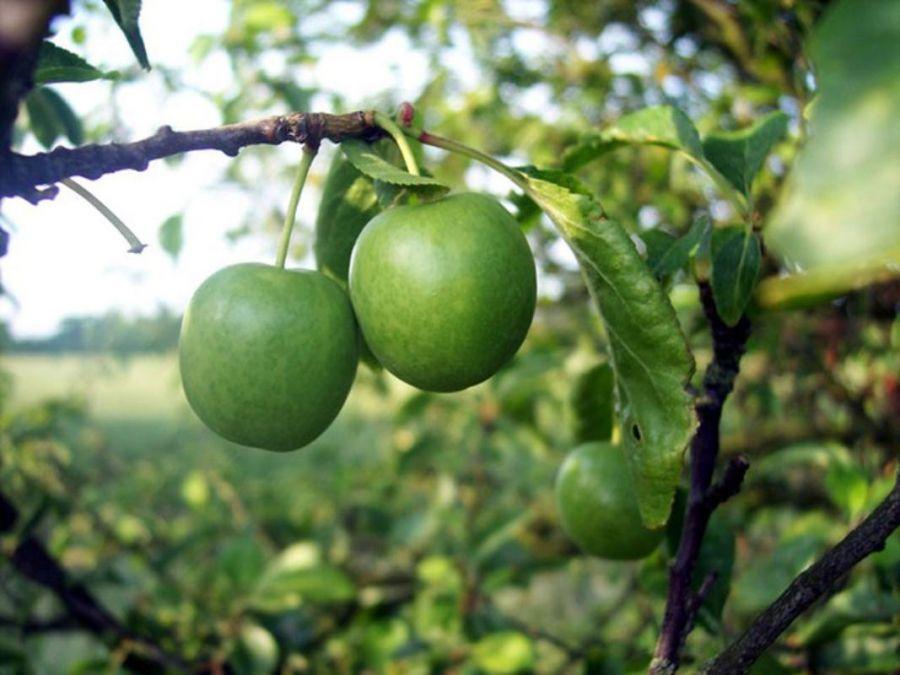 اصول کاشت و تکثیر درخت گوجه سبز