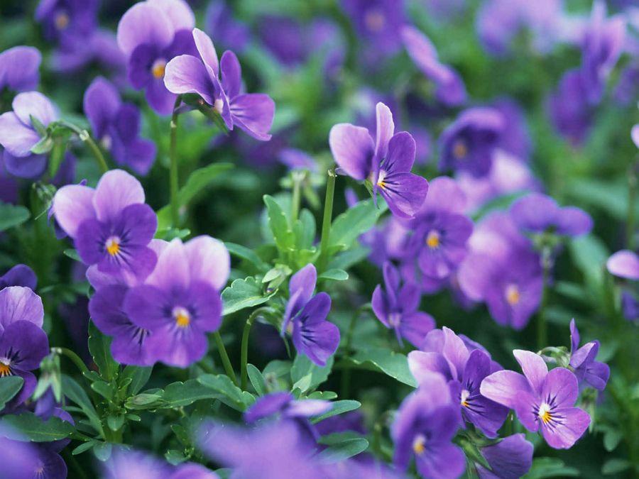 راهنمای کاشت و تکثیر گل بنفشه