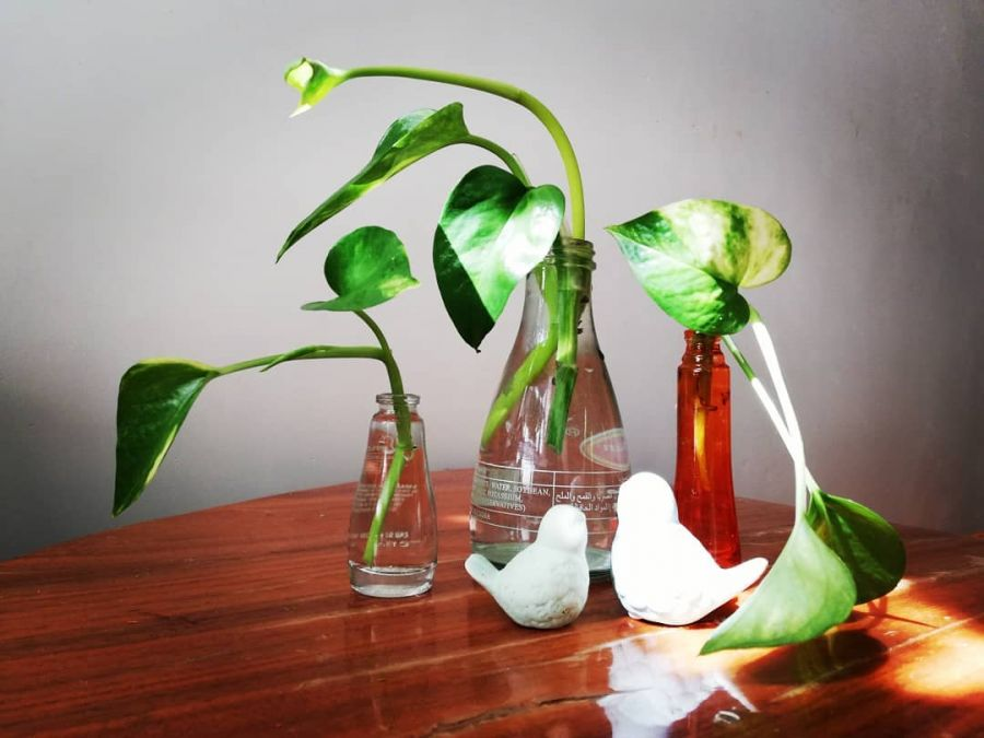 راهنمای تکثیر و نگهداری  گیاه پتوس در آب