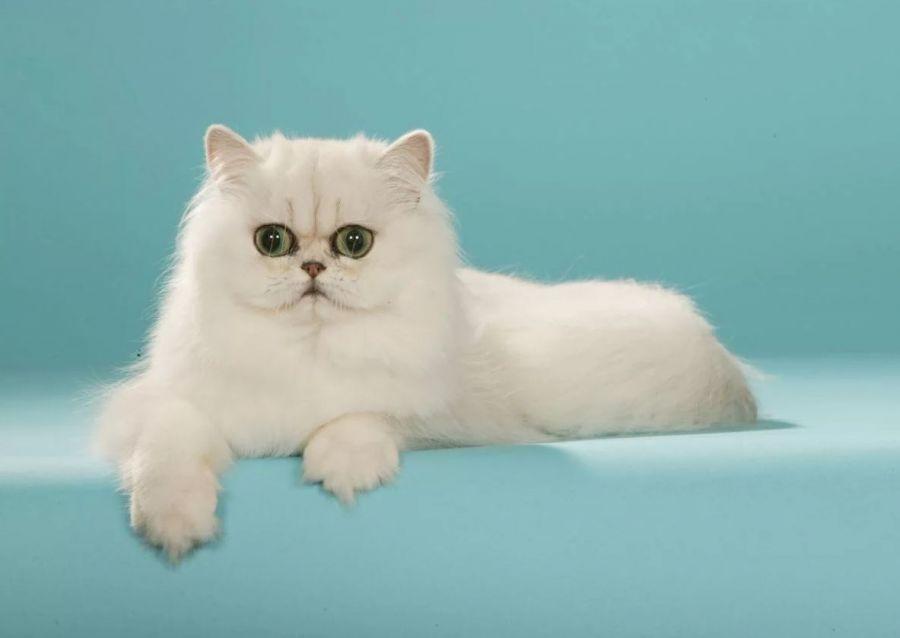 آشنایی با خصوصیات رفتاری گربه چین چیلا