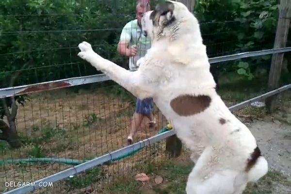 سگ چوپان
