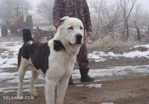 سگ آلابای