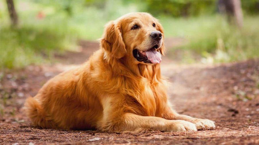 آشنایی با سگ نژاد گلدن رتریور