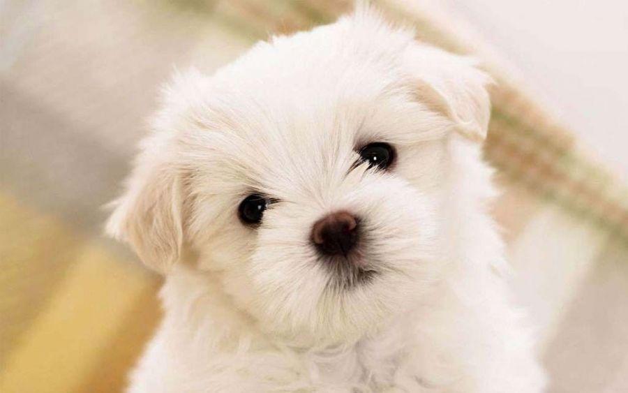 همه چیز در مورد سگ نژاد مالتیز