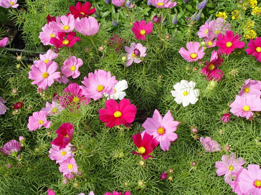 راهنمای کاشت و تکثیر گل ستاره ای