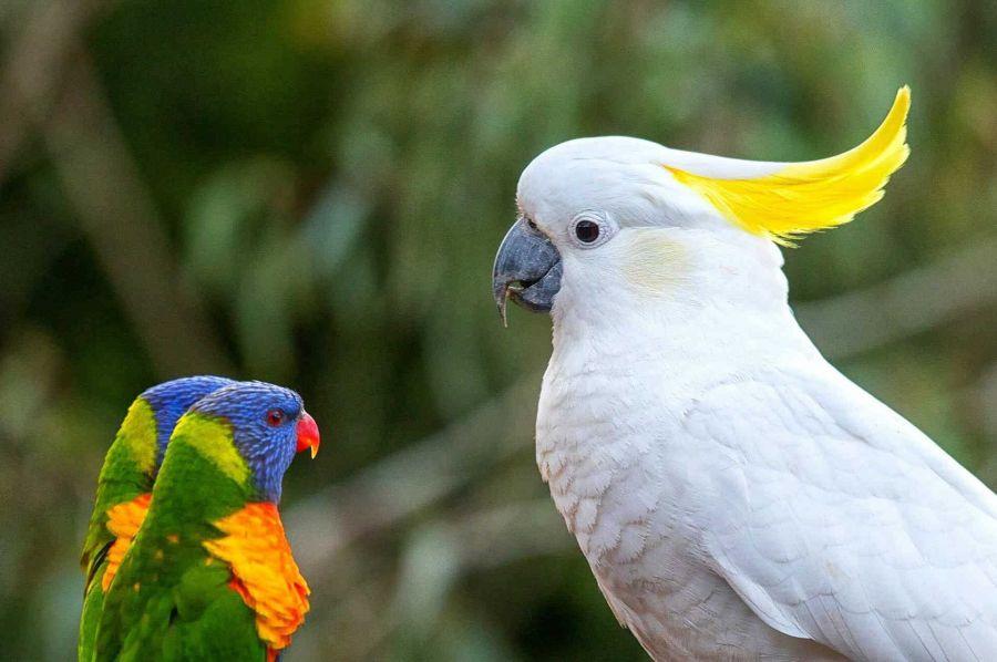 معرفی طوطی کاکادو یا طوطی سفید کاکل زرد
