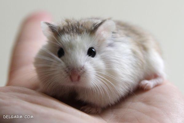 همستر کوچک