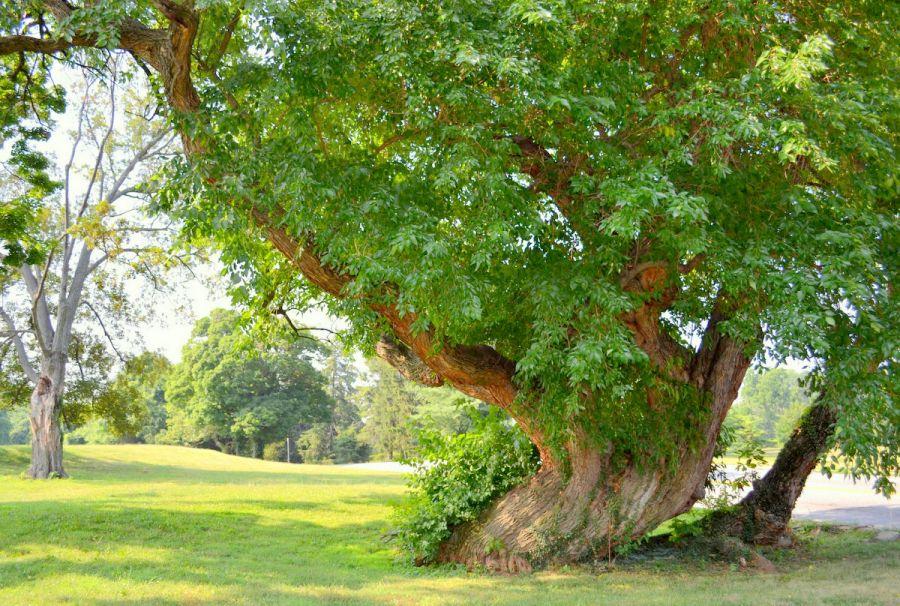 روش کاشت درخت توت آمریکایی