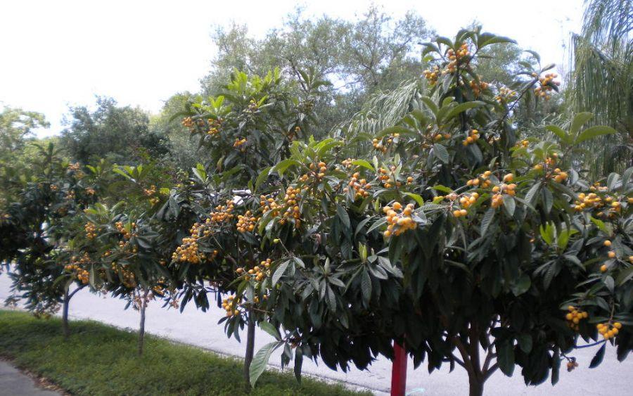 اصول کاشت و تکثیر درخت ازگیل