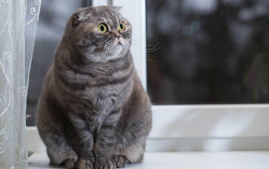 معرفی نژاد گربه اسکاتیش فولد