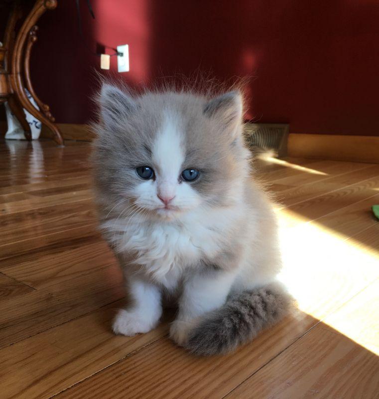 آشنایی با نژاد گربه راگمافن