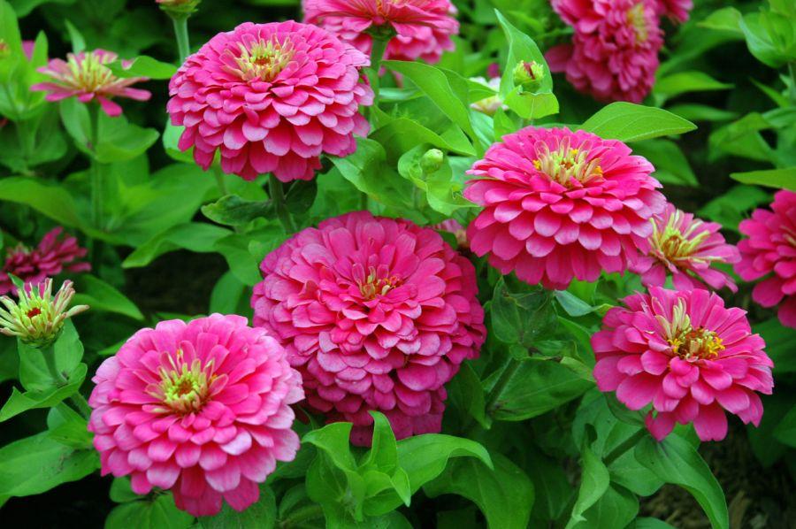 راهنمای کاشت و نگهداری گل آهار