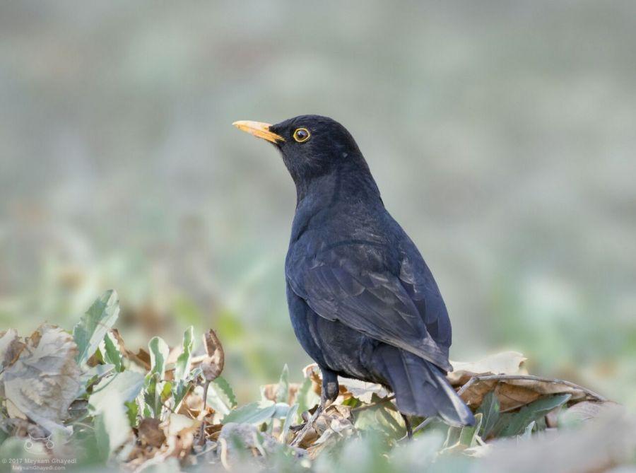 معرفی پرنده زیبایی به نام توکای سیاه