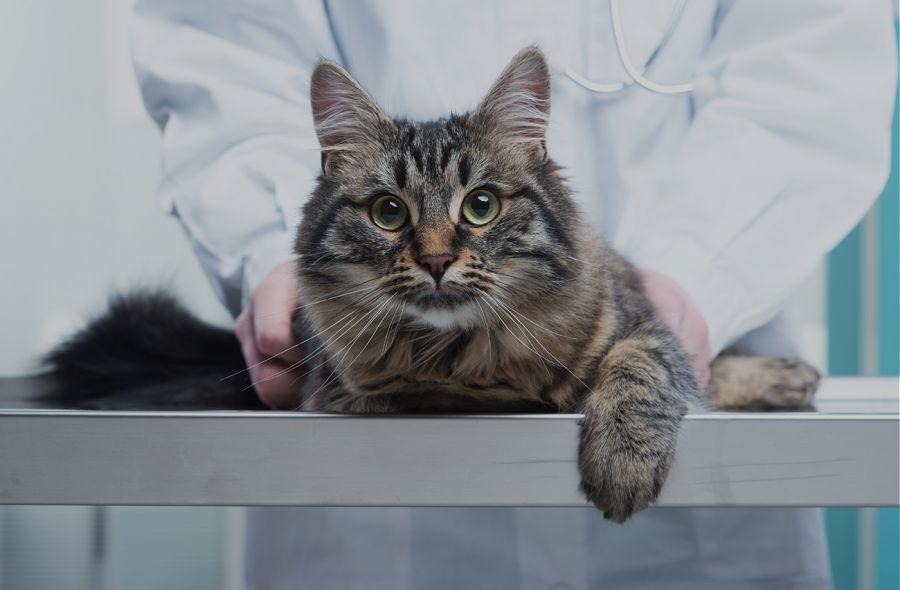 مزایای عقیم کردن گربه نر و ماده
