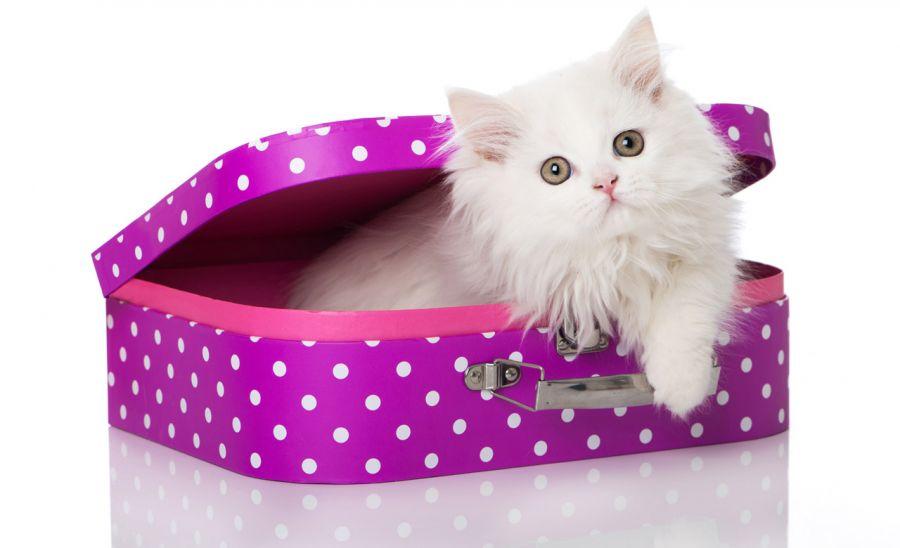 همه چیز در مورد نژاد گربه پرشین