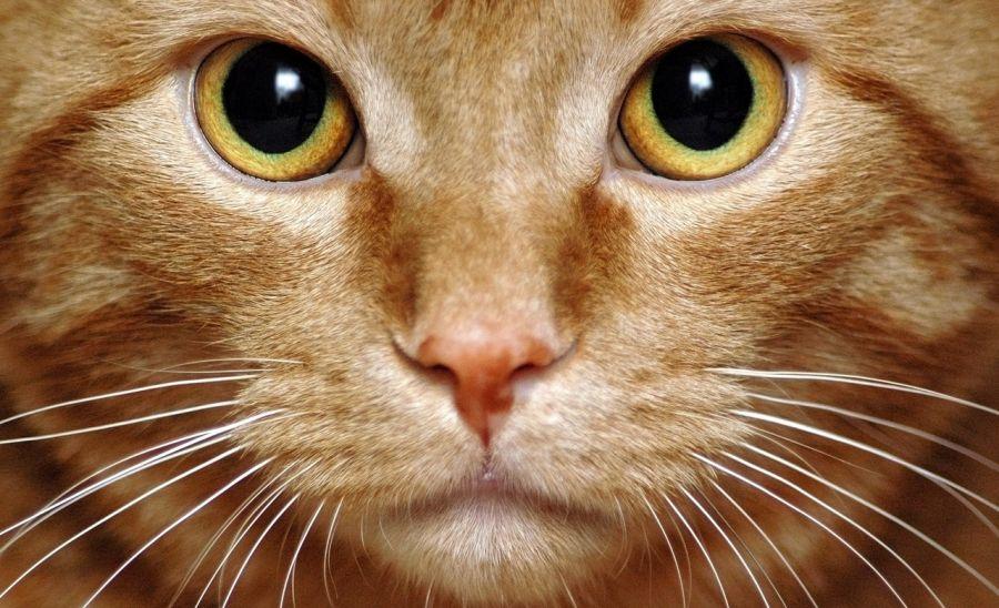 علت افتادن سبیل گربه