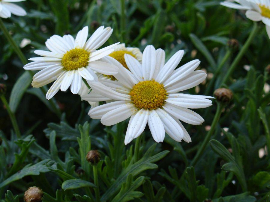 اصول کاشت و تکثیر گل مارگریت