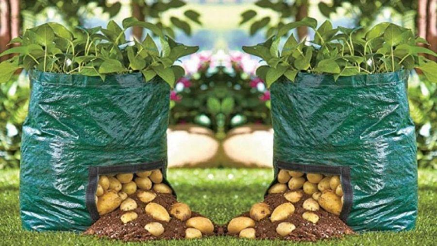 اصول کاشت سیب زمینی حتی در گلدان!