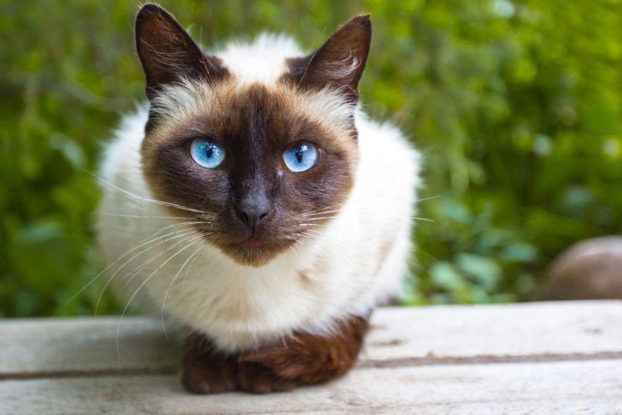 معرفی نژاد گربه سیامی و روش مراقبت از آن