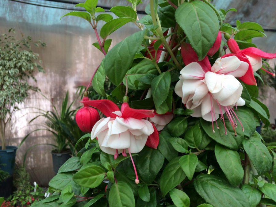 فوت و فن پرورش گل فوشیا