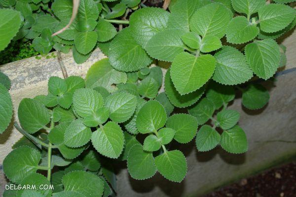 گیاه روش کاشت و نگهداری پلکترانتوس آمبوینیکاس