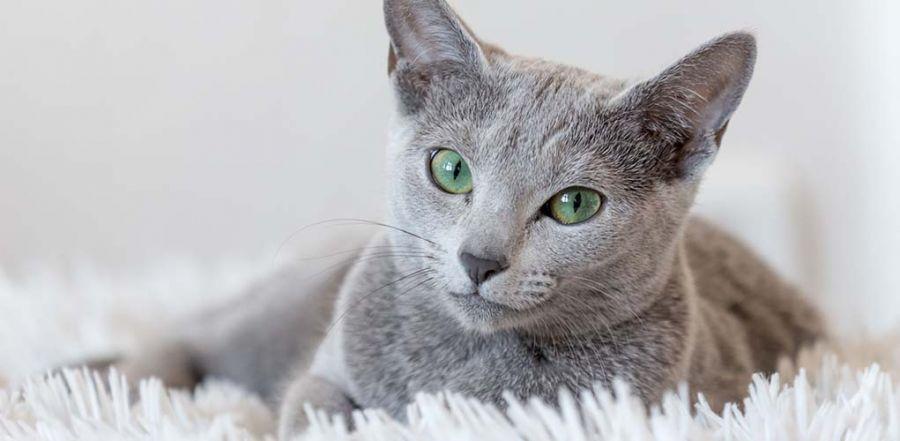 آشنایی با نژاد گربه راشن بلو و نحوه نگهداری از آن