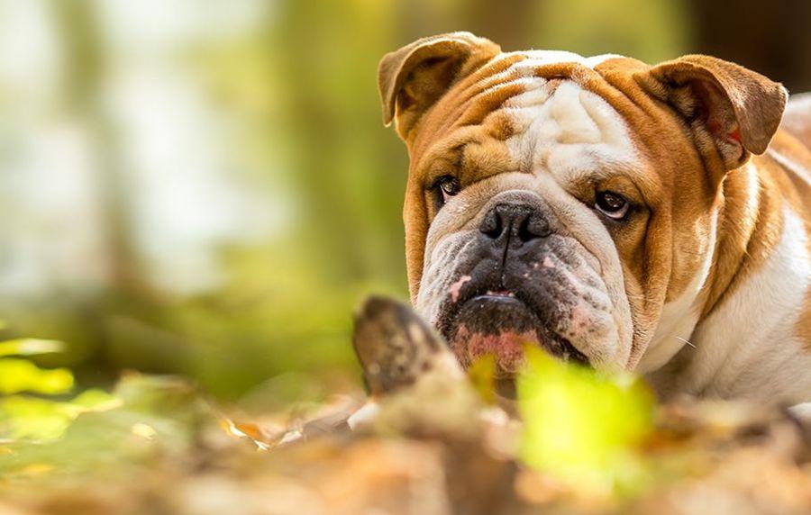 معرفی نژاد سگ بولداگ و روش نگهداری از آن