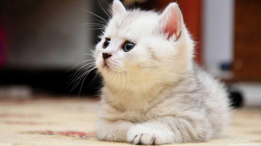 روش های پیشگیری از ایجاد توپ مویی در گربه ها