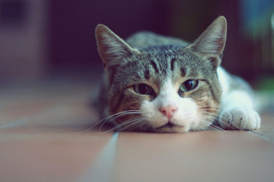 علت استفراغ گربه چیست؟