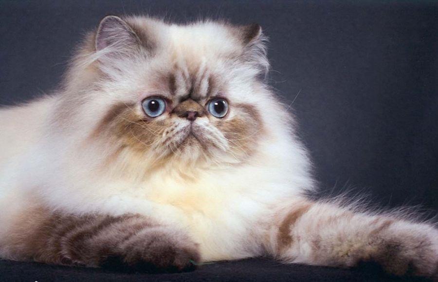 آشنایی با نژاد گربه هیمالین