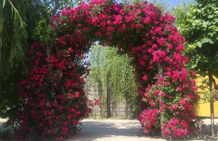 اصول کاشت و تکثیر گل رز بالا رونده