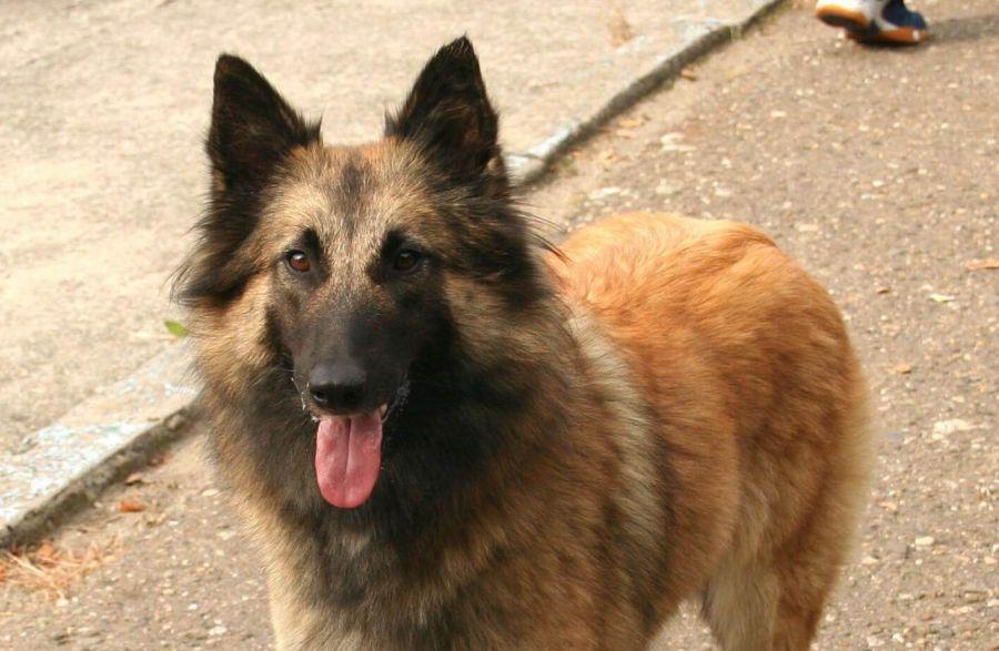 نژاد سگ شیانلو و تفاوت آن با سگ ژرمن شپرد