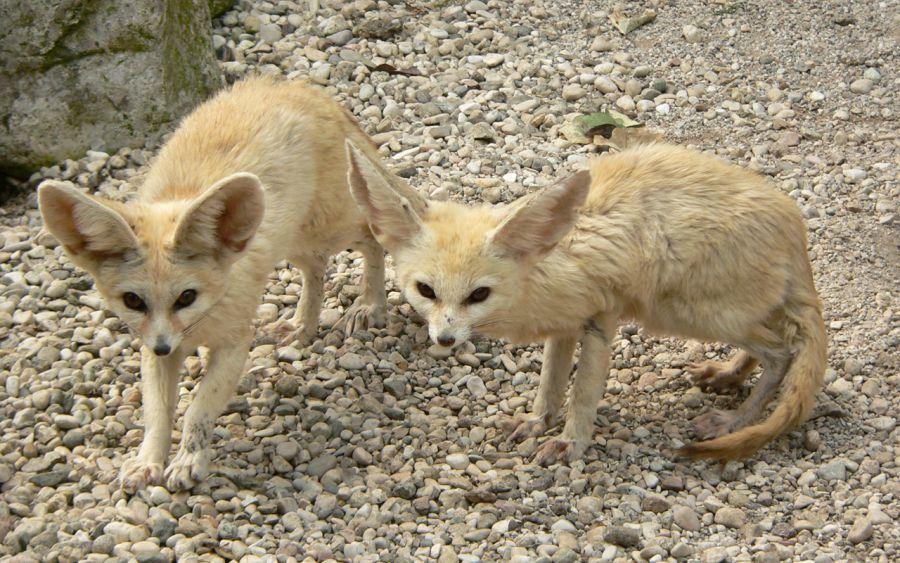 نگهداری از روباه صحرا به عنوان حیوان خانگی