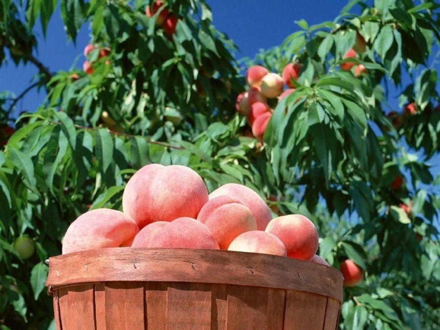 اصول کاشت و نگهداری درخت هلو