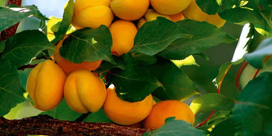 همه چیز در مورد کاشت و نگهداری درخت زردآلو