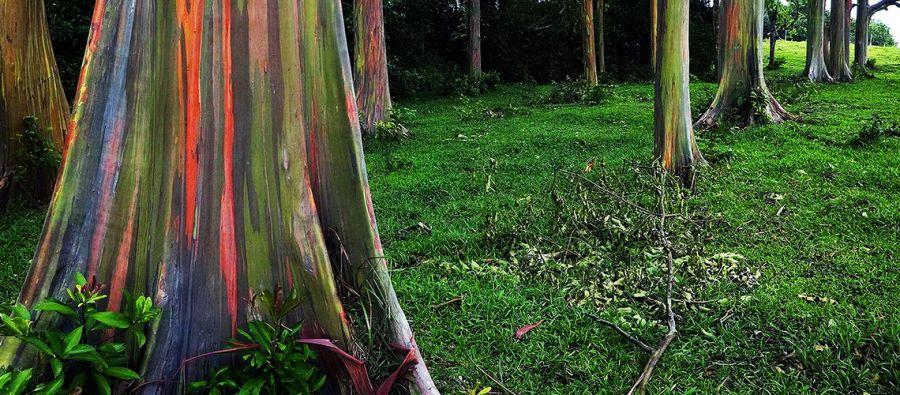 معرفی درخت زیبای اوکالیپتوس رنگین کمان