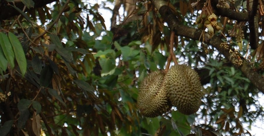 آشنایی با درخت قهوه سودانی