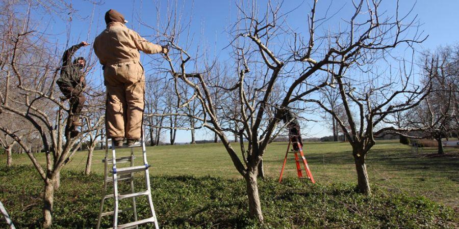 اصول صحیح هرس درخت سیب