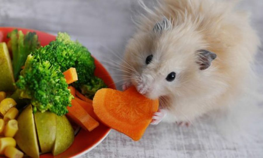 اصول صحیح تغذیه همستر