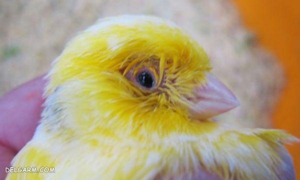 پرنده زینتی بیمار