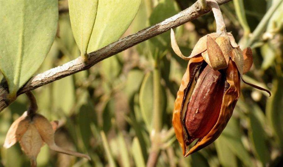 راهنمای کاشت و تکثیر درختچه جوجوبا