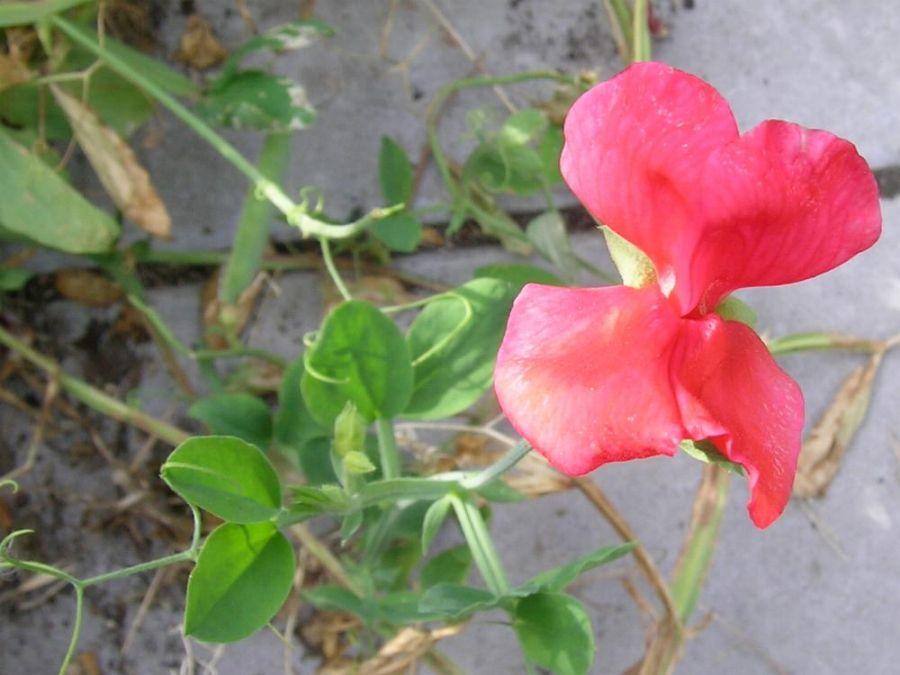 آشنایی با گیاه گل نخود و روش کاشت آن