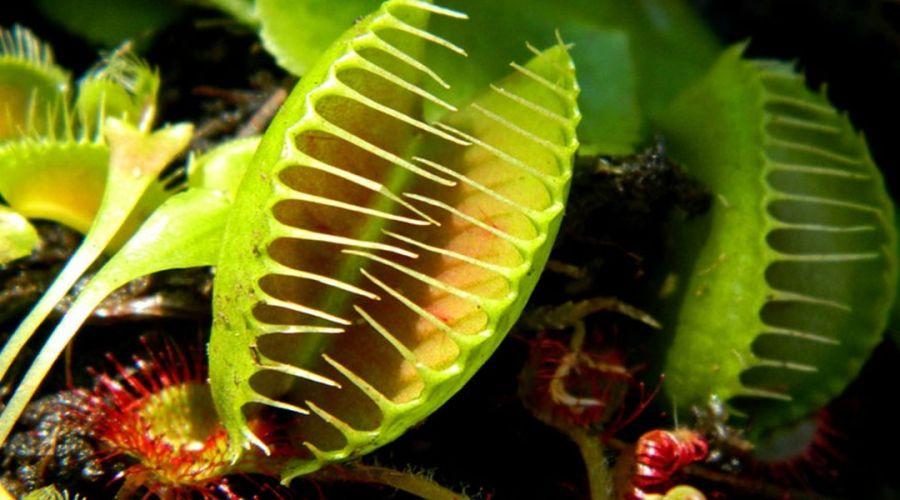 آشنایی با ویژگیهای گیاهان گوشتخوار