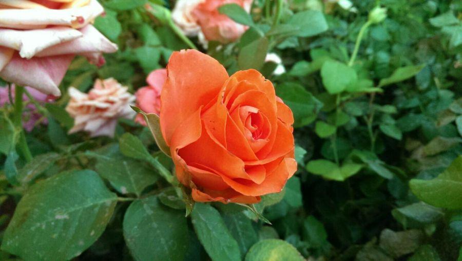 اصول نگهداری و مراقبت از انواع گل رز