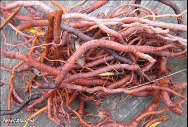 ریشه روناس